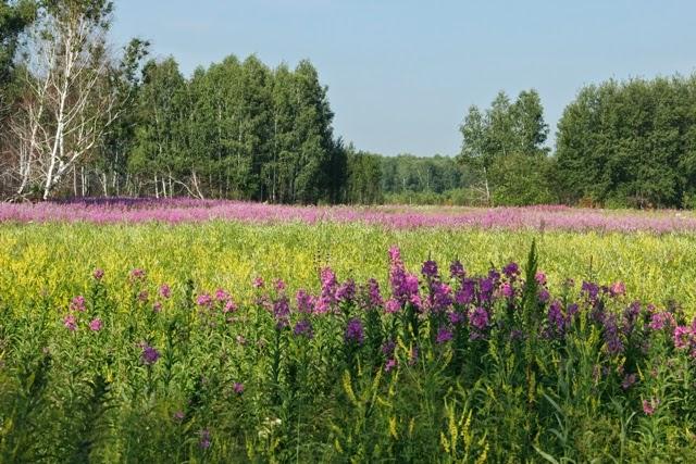 яркие цветы пейзаж иван чай фото