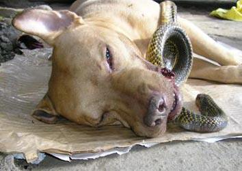 Cool Story Dog!: NEWS: Two women saves from Cobra by Chief the PitBull