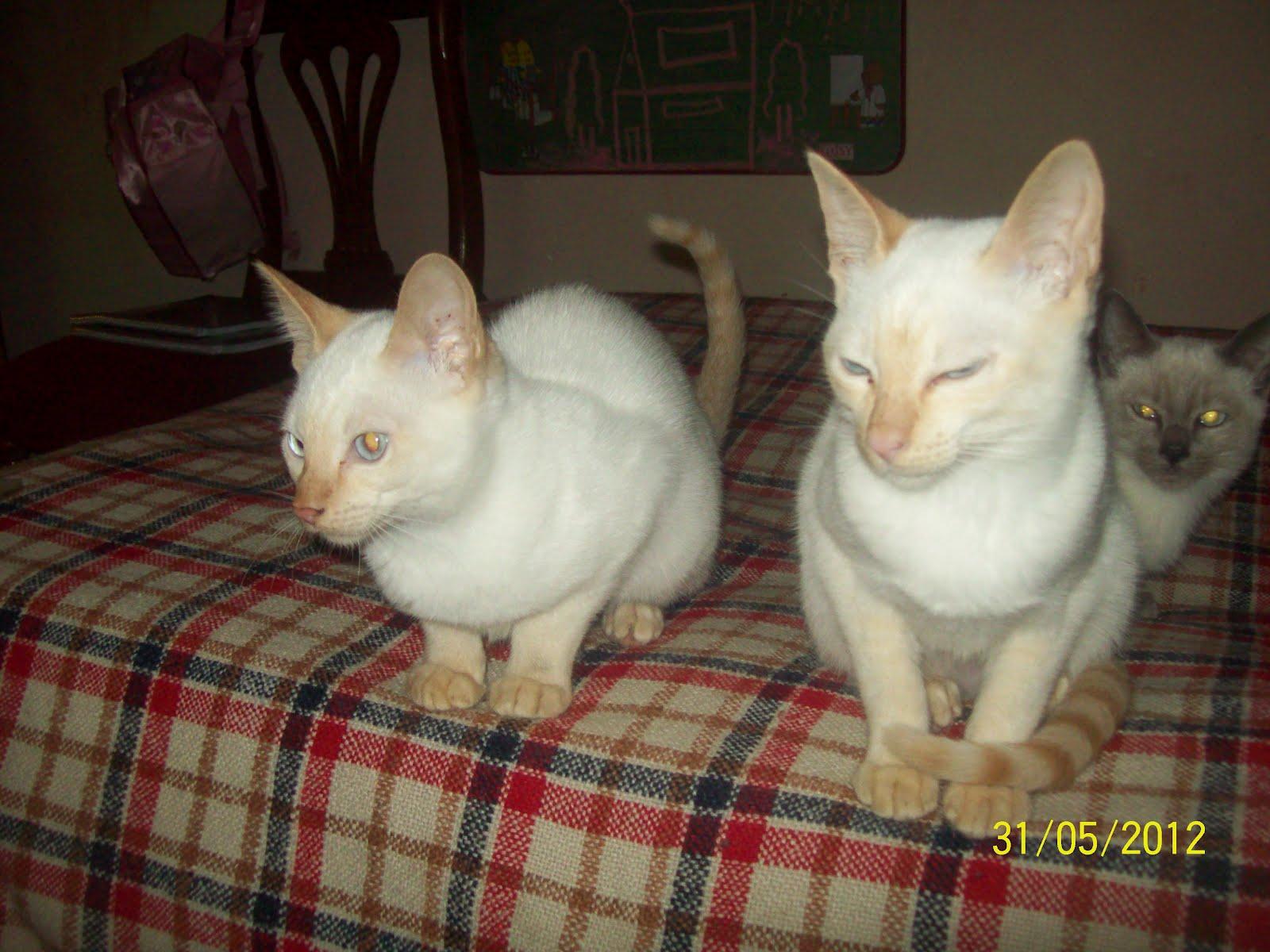 Atrapasue os cattery gatos siameses mis gatas siamesas for Red transparente para gatos