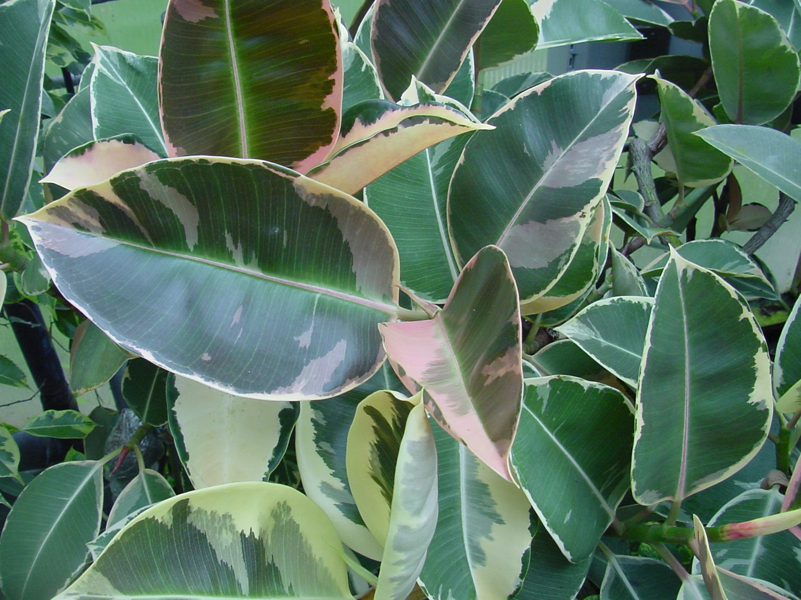 How to take cuttings from ficus elastica the garden of eaden for Ficus elastica