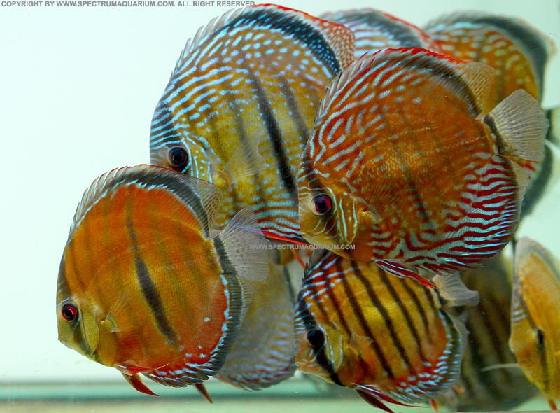 Spectrum aquarium wild discus ica bar royal alenquer for Discus fish for sale near me