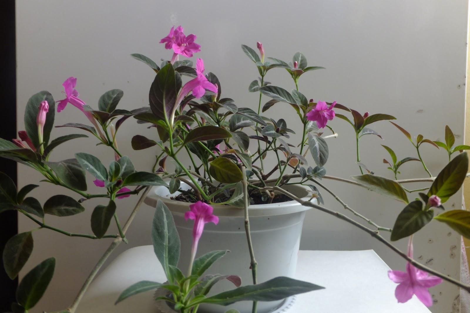 Руэллия  Комнатные растения