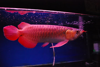 jenis arwana red tail golden