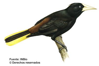 aves argentinas Yapu Psarocolius decumanus