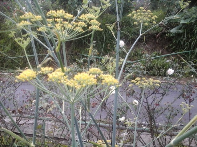 bunga adas