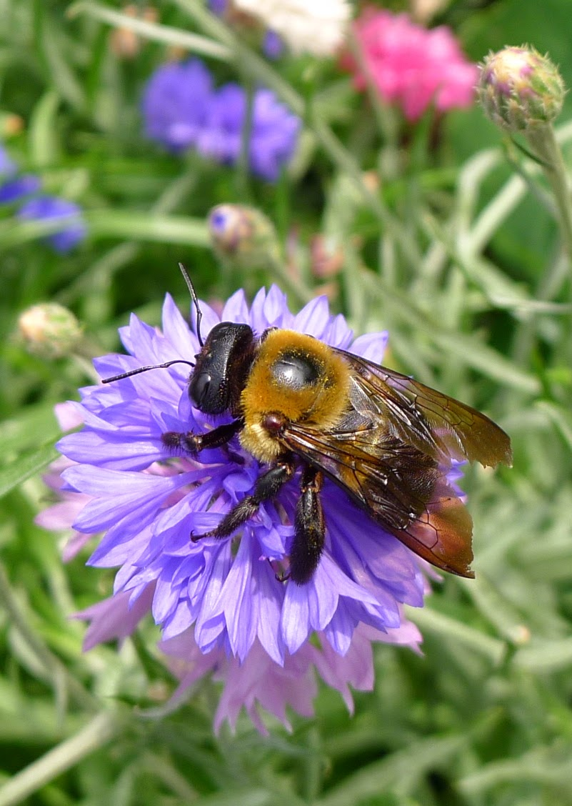 Carpenter Bee, pollinators, urban farming