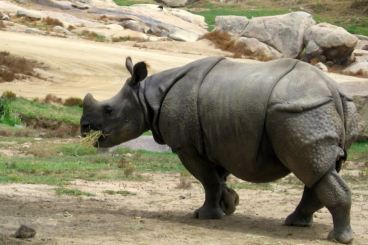 Single horned rhino wikipedia