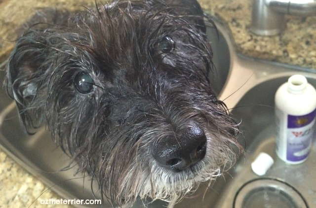 Oz the Terrier takes a bath