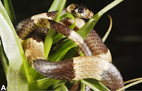 http://sciencythoughts.blogspot.co.uk/2012/09/new-species-of-snail-eating-snake-from.html