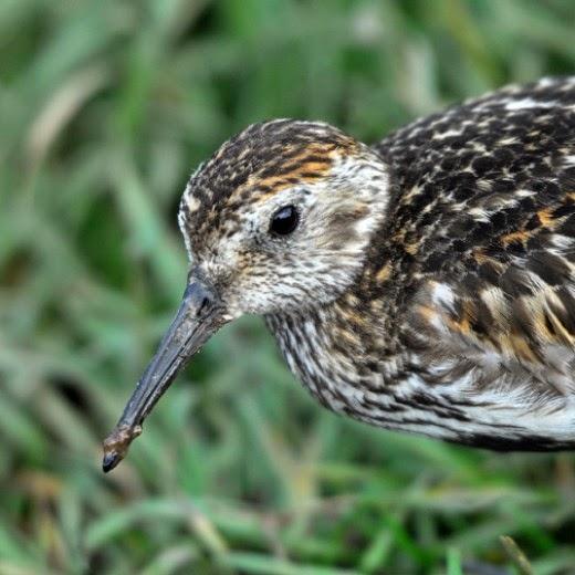 male dunlin
