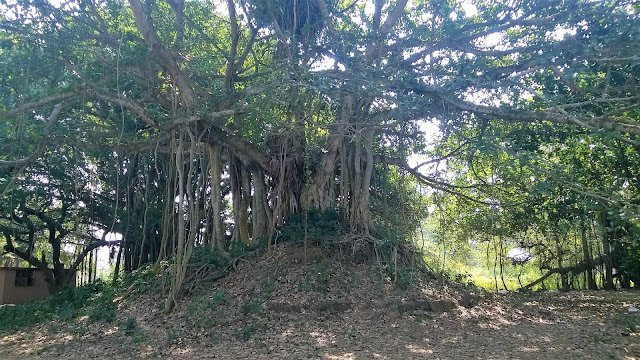 Tree, Ficus , Sun Temple, travel