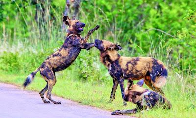 De wilde honden of hyenahonden zijn wilde hondachtigen uit de orde der roofdieren.