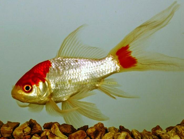 Comet Goldfish | Comet-tailed Goldfish