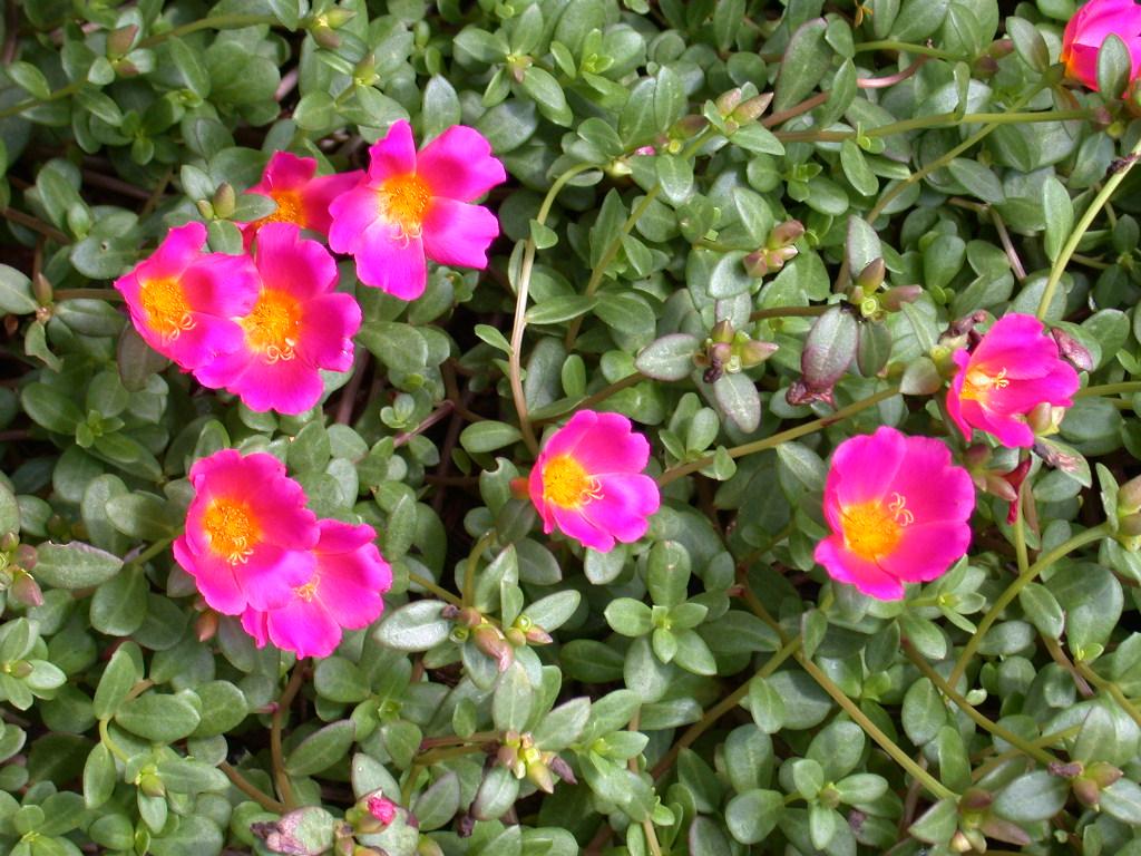 piante e fiori portulaca