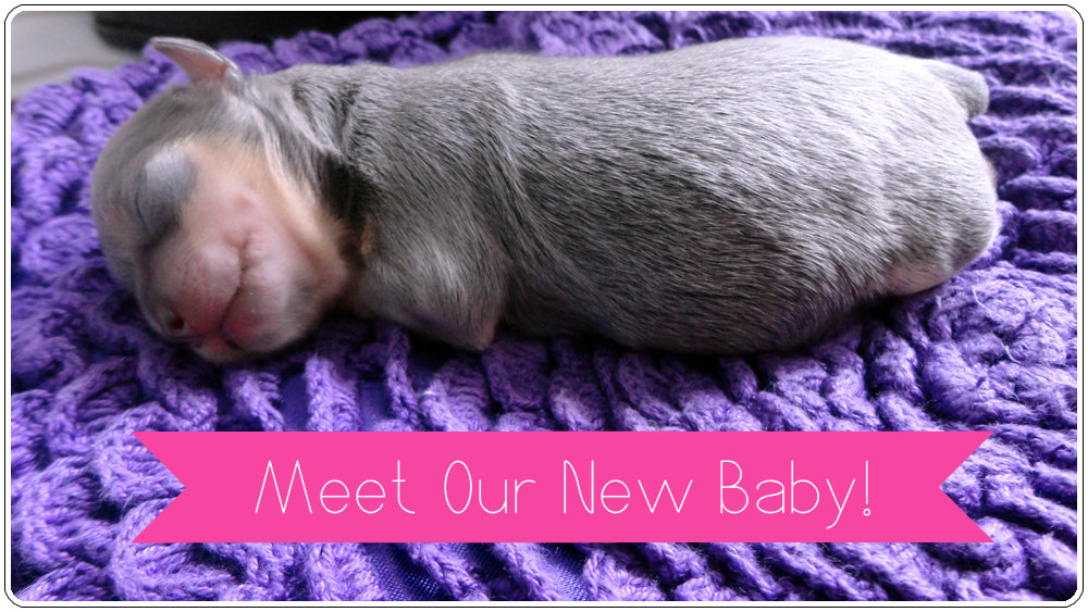 Meet Our New (Miracle Blue Chihuahua) Baby!