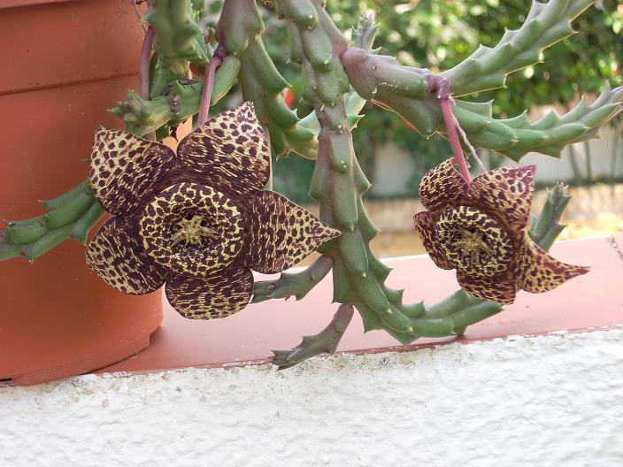 Jardines de cactus y suculentas stapelia variegata o flor for Jardines con cactus