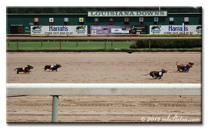 Four Dachshunds racing on horse track