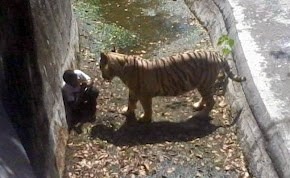 White Tiger Kill 12 Std Student in New Delhi Zoo Video
