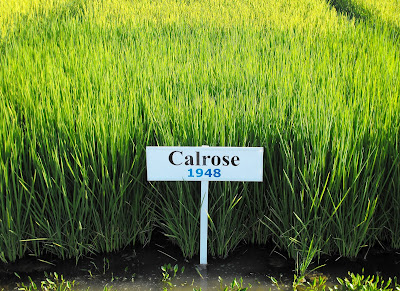 New Guest Blog- Calrose Rice, A California Legacy