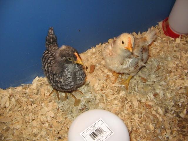 Josh Day's Chickens