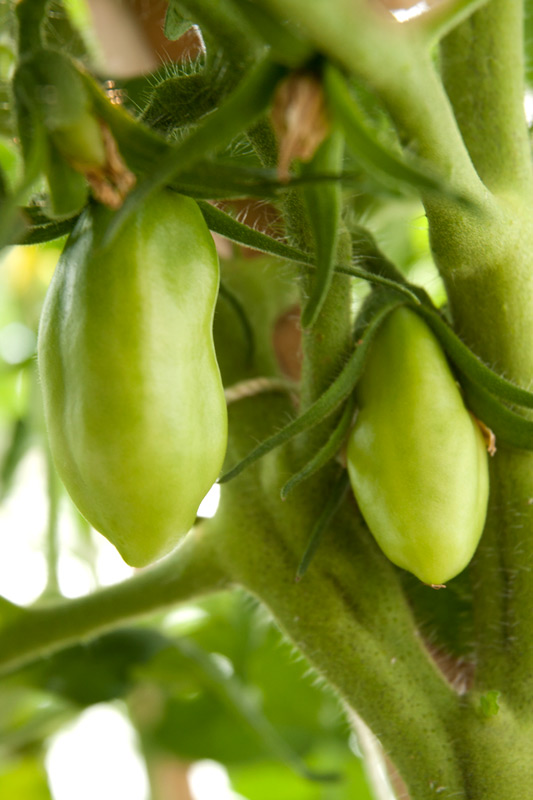 Developing fruit on 95-day-old San Marzano plant