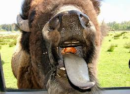 Funny Bison Pictures Funny Animals