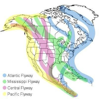 North American bird migration flyways