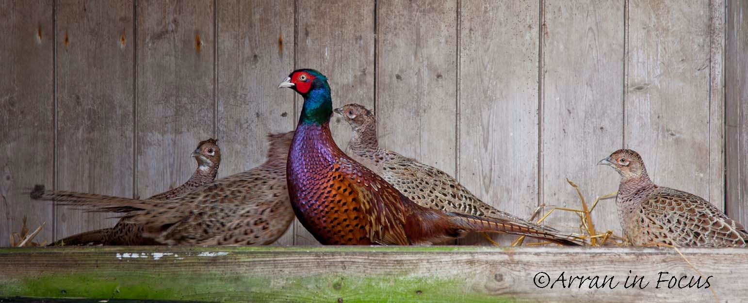 Dougarie Estate: Breeding Pheasant - A mating game