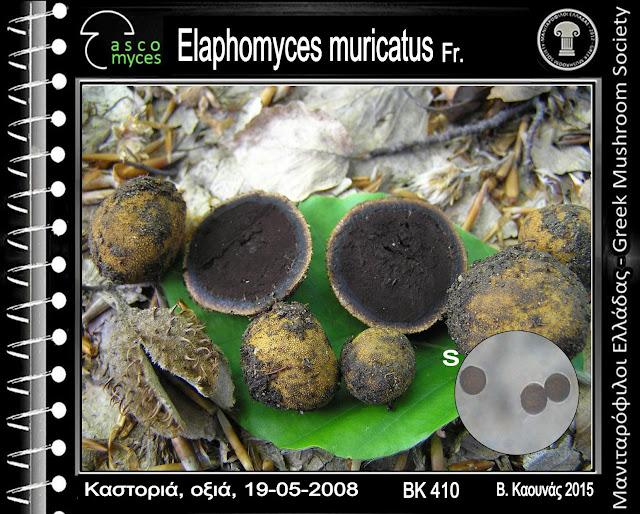 Elaphomyces muricatus Fr.