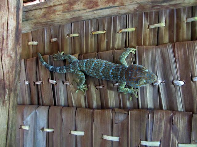 Gecko auf Maliangin Island bei Borneo, Malaysia