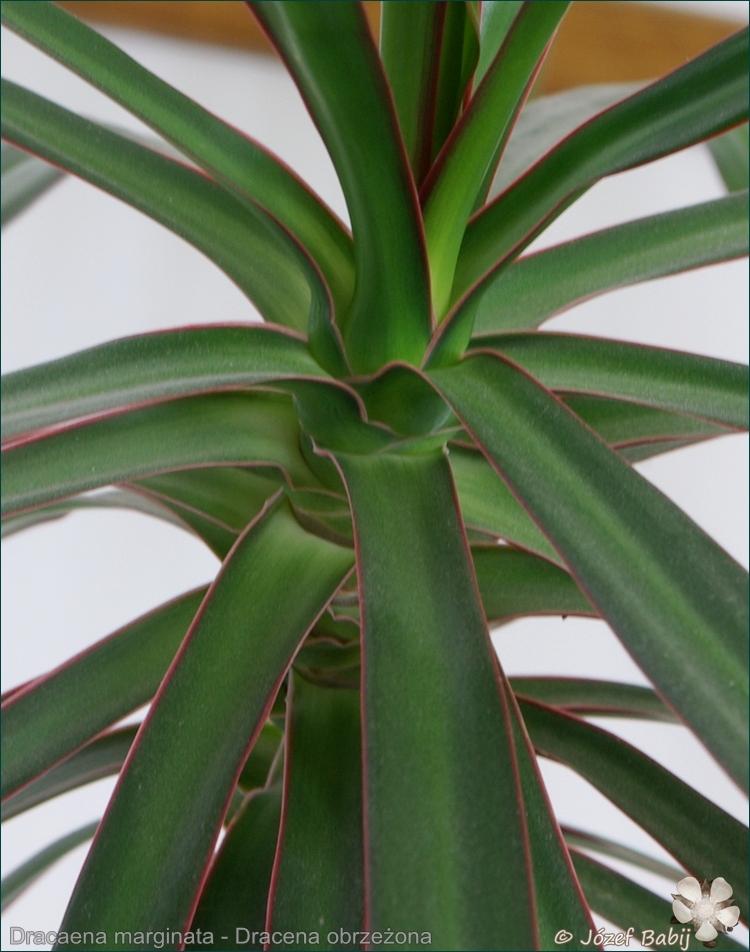 Dracaena marginata - Dracena obrzeżona liście