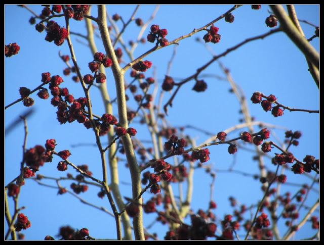 rode bloemen in Parrotia persica