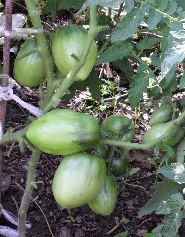 Сорт помидоров Петруша Огородник