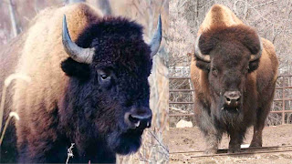 bison pictures