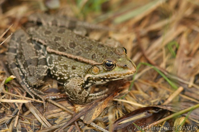 nature marais batracien grenouille verte macro Seine-et-Marne
