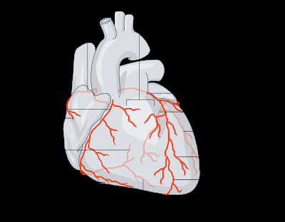 Corazón - Arteria coronaria