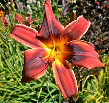 Party Array daylily