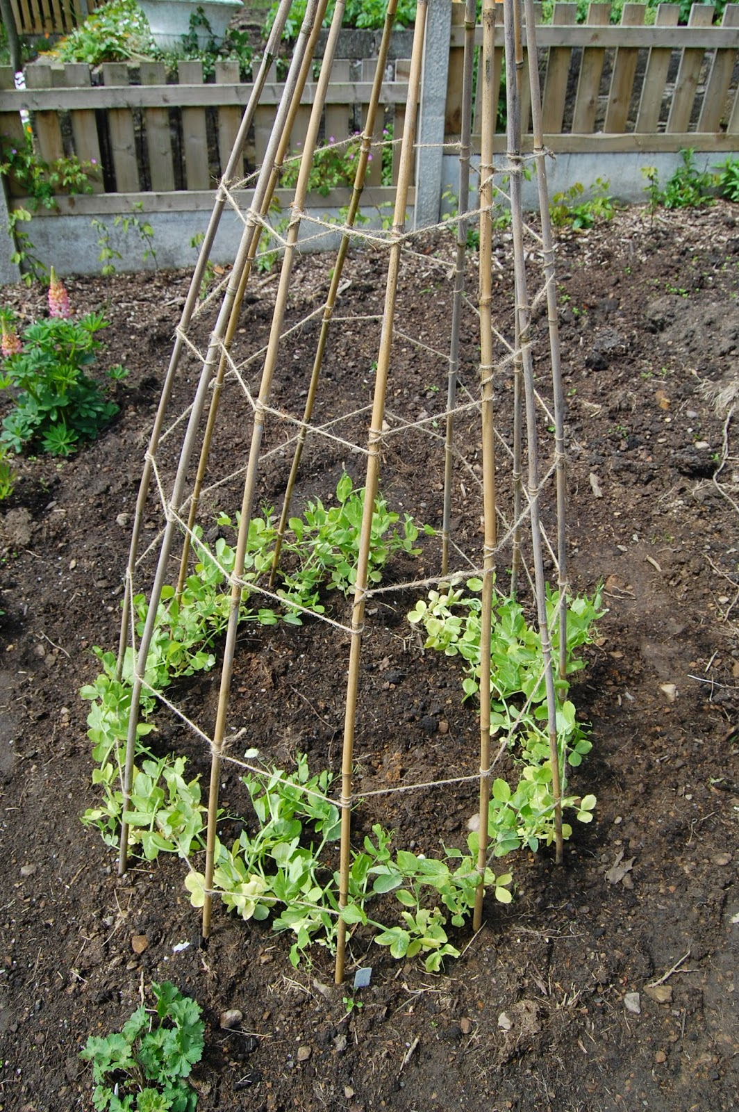 Peas don't have to be in open ground #lifeonpigrow