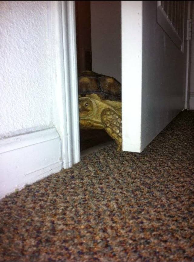 Funny animals of the week - 17 January 2014 (40 pics), turtle opens a door