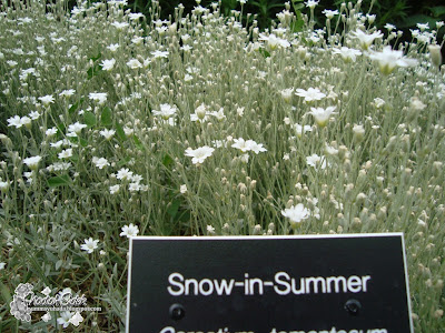 snow-in-summer