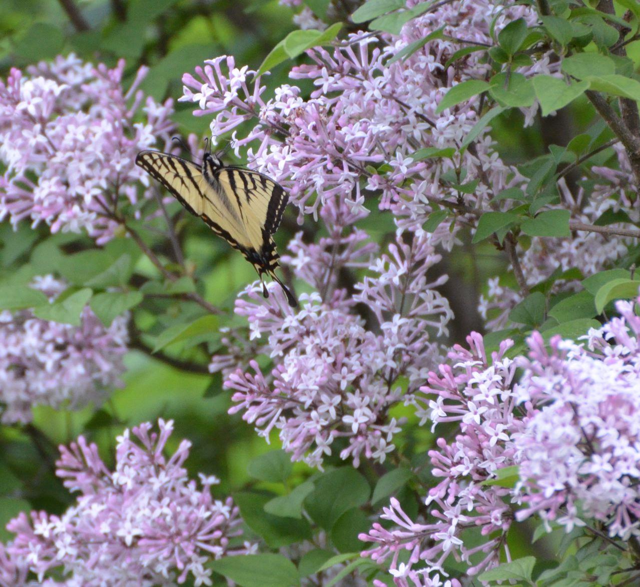 Flower Hill Farm Butterflies 2011 Eastern Tiger