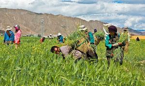 Exploitation des paysannes aux champs d'esclavage