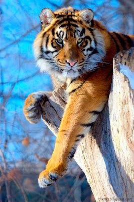 La mirada del tigre • Imágenes de animales
