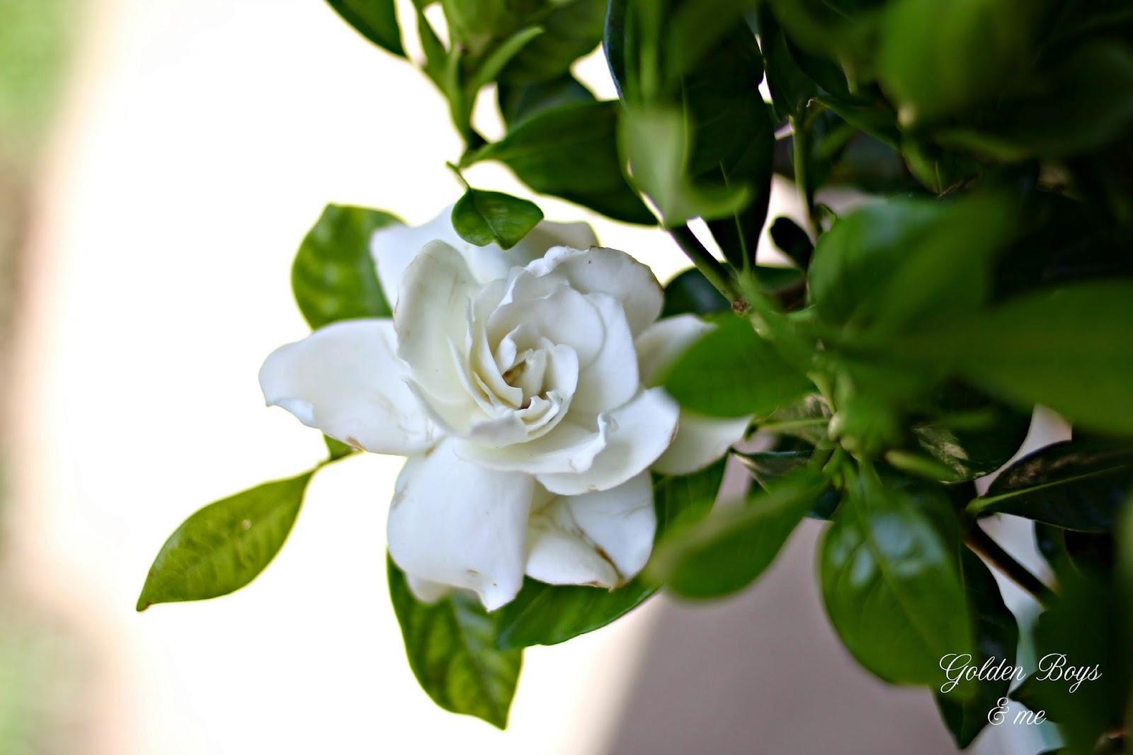 gardenia plant-www.goldenboysandme.com
