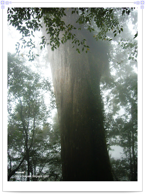 北橫拉拉山-神木1