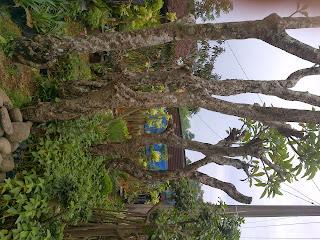 Jual pohon kamboja fosil | supplier aneka  tanaman hias dan jasa pembuatan taman minimalis