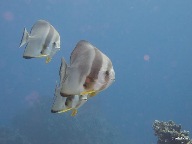 Платакс (Batfish)