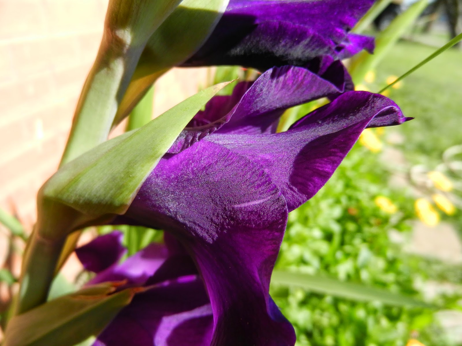 royal purple gladiolus