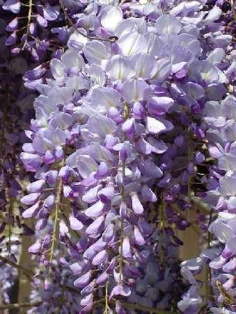 Riegate a ti mismo espejito espejito que planta es la for Glicina planta