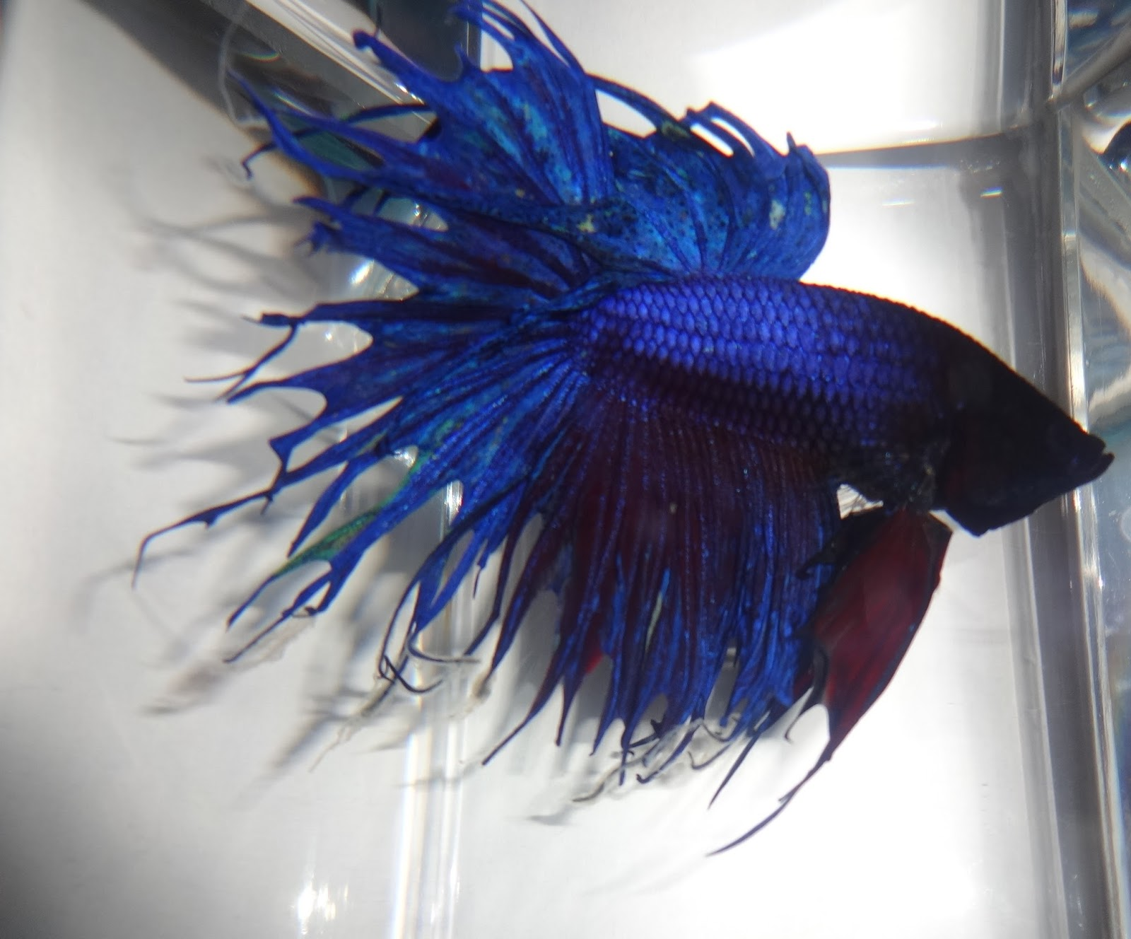 Bettas for Crowntail betta fish